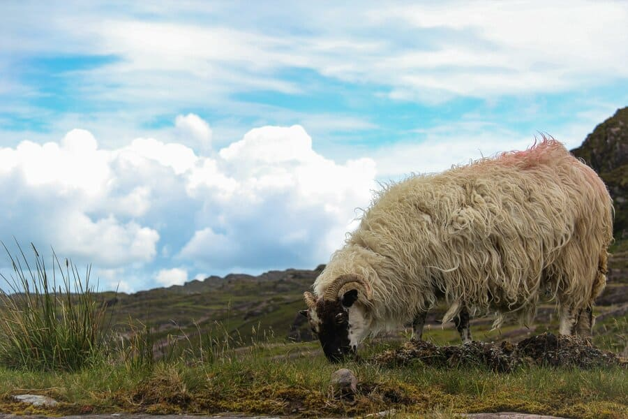 laines_hygge_yarns_sheep3